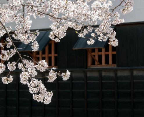 cherry-blossoms-kohji-asakawa-pixabay